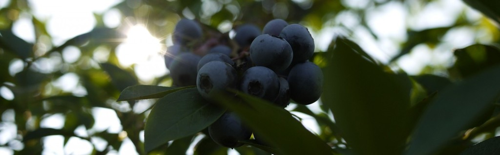 Cota Cafe(コタカフェ)|しゅうブルーベリー園